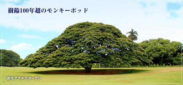 樹齢100年超のモンキーポッド